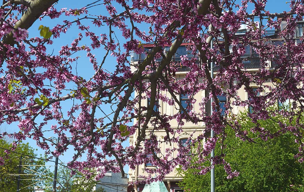 Pink Route: Cherry Blossom in Turkey